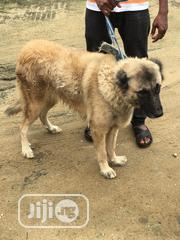 Adult Female Purebred Caucasian Shepherd Dog | Dogs & Puppies for sale in Rivers State, Ikwerre