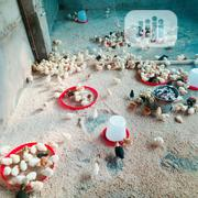 A Day Old Chicks Available | Livestock & Poultry for sale in Lagos State, Badagry