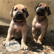 Young Male Purebred Boerboel | Dogs & Puppies for sale in Lagos State, Magodo