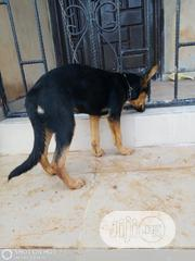 Young Female Purebred Rottweiler | Dogs & Puppies for sale in Edo State, Egor