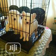 Baby Male Purebred Samoyed   Dogs & Puppies for sale in Lagos State, Ifako-Ijaiye