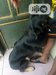 Adult Male Purebred German Shepherd Dog | Dogs & Puppies for sale in Oyo State, Ogbomosho North