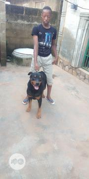 Adult Male Purebred Rottweiler | Dogs & Puppies for sale in Oyo State, Ibadan North