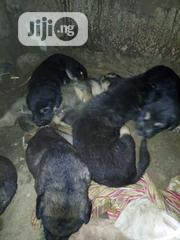 Baby Male Mixed Breed Rottweiler | Dogs & Puppies for sale in Niger State, Minna