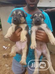 Baby Male Purebred German Shepherd Dog | Dogs & Puppies for sale in Lagos State, Magodo