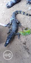 Crocodiles For Sale | Reptiles for sale in Zaria, Kaduna State, Nigeria