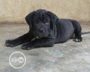Baby Female Purebred Boerboel | Dogs & Puppies for sale in Lagos State, Ifako-Ijaiye