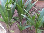 Young Coconut Plant | Feeds, Supplements & Seeds for sale in Ogun State, Ado-Odo/Ota