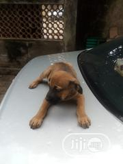 Baby Male Purebred Boerboel   Dogs & Puppies for sale in Lagos State, Alimosho