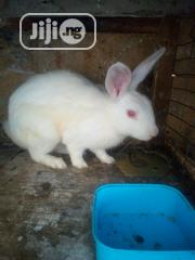 Newland Rabbit | Livestock & Poultry for sale in Lagos State, Alimosho