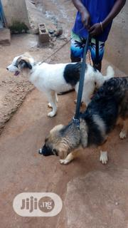 Senior Male Purebred Saint Bernard | Dogs & Puppies for sale in Abuja (FCT) State, Maitama