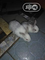 Fast Growing Weaner Rabbits | Livestock & Poultry for sale in Lagos State, Alimosho