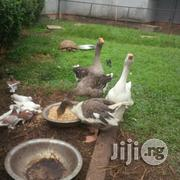 Male And Female Goose | Livestock & Poultry for sale in Lagos State, Lekki Phase 1