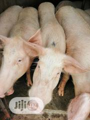 Your Large Size Pigs AVAILABLE NOW   Livestock & Poultry for sale in Delta State, Oshimili South