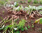 Hybrid Plantain Suckers For Sale | Feeds, Supplements & Seeds for sale in Ogun State, Abeokuta South