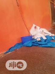 Young Male Purebred American Eskimo Dog | Dogs & Puppies for sale in Oyo State, Ibadan North East