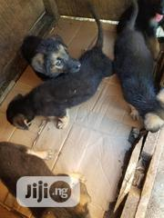 Young Female Purebred German Shepherd Dog | Dogs & Puppies for sale in Ondo State, Akure South