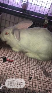 Hyla Rabbit   Pet Services for sale in Lagos State, Ojodu