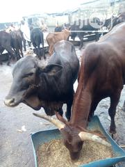 Northern Cows | Livestock & Poultry for sale in Rivers State, Port-Harcourt