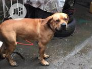 Adult Male Purebred Boerboel | Dogs & Puppies for sale in Lagos State, Shomolu