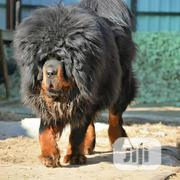 Young Female Purebred Tibetan Mastiff   Dogs & Puppies for sale in Lagos State, Lekki Phase 1