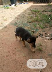 Baby Female Purebred German Shepherd Dog | Dogs & Puppies for sale in Lagos State, Shomolu