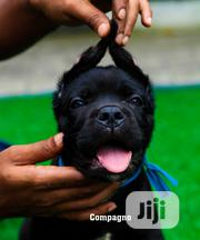 Baby Male Purebred Cane Corso | Dogs & Puppies for sale in Rivers State, Port-Harcourt