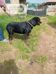 Adult Female Purebred Rottweiler | Dogs & Puppies for sale in Oyo State, Ibadan North