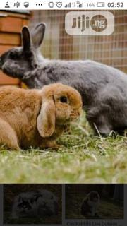 Big& Matured Rabbits For Sale   Livestock & Poultry for sale in Oyo State, Ibadan North West