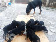 Baby Male Purebred Rottweiler | Dogs & Puppies for sale in Enugu State