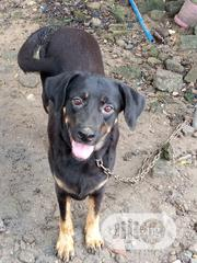 Adult Female Purebred Labrador Retriever | Dogs & Puppies for sale in Rivers State, Port-Harcourt
