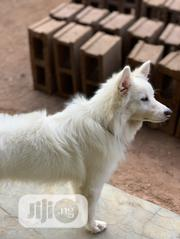 Senior Male Purebred American Eskimo Dog | Dogs & Puppies for sale in Oyo State, Ibadan South West