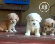 Baby Male Purebred Lhasa Apso | Dogs & Puppies for sale in Abuja (FCT) State, Kabusa