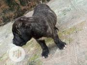 Baby Male Purebred Boerboel | Dogs & Puppies for sale in Oyo State, Akinyele