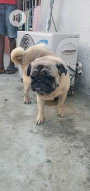 Adult Male Purebred Pug | Dogs & Puppies for sale in Lagos State, Lagos Mainland