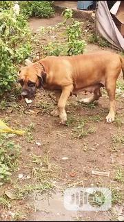Adult Female Purebred Boerboel | Dogs & Puppies for sale in Lagos State, Alimosho