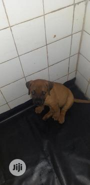 Baby Female Mixed Breed Boerboel   Dogs & Puppies for sale in Oyo State, Ibadan North