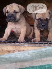 Baby Female Purebred Boerboel | Dogs & Puppies for sale in Rivers State, Port-Harcourt