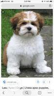 Baby Female Purebred Lhasa Apso | Dogs & Puppies for sale in Port-Harcourt, Rivers State, Nigeria
