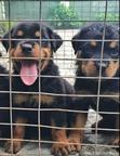 Baby Male Purebred Rottweiler | Dogs & Puppies for sale in Port-Harcourt, Rivers State, Nigeria
