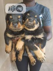 Baby Male Purebred Rottweiler | Dogs & Puppies for sale in Oyo State, Ibadan South East
