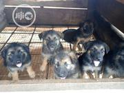 Baby Male Purebred German Shepherd Dog | Dogs & Puppies for sale in Ondo State, Akure South