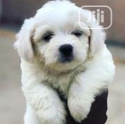 Baby Male Purebred Lhasa Apso   Dogs & Puppies for sale in Abuja (FCT) State, Wumba