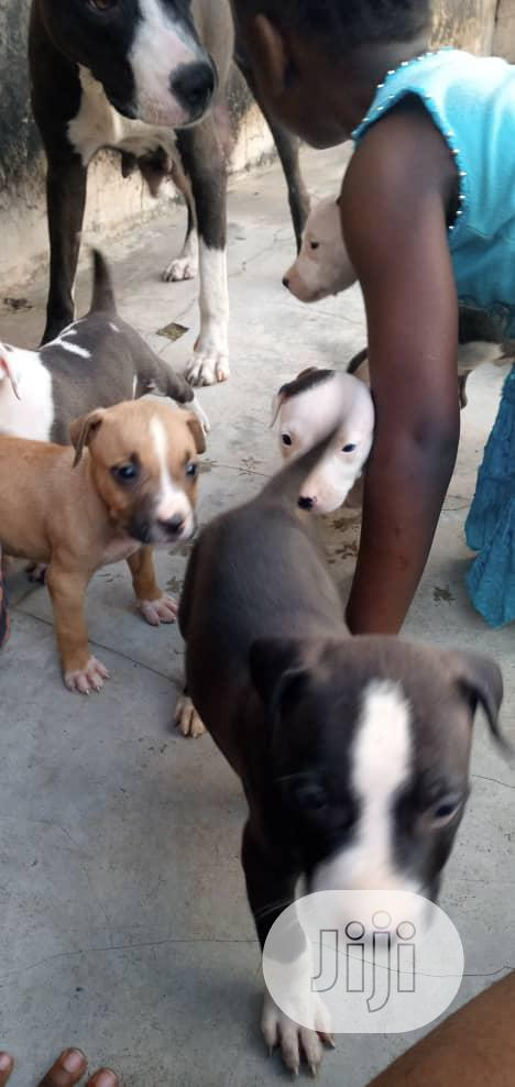 Archive: Young Female Purebred American Pit Bull Terrier