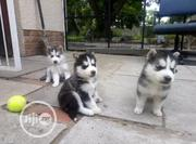 Young Female Purebred Siberian Husky | Dogs & Puppies for sale in Lagos State, Alimosho