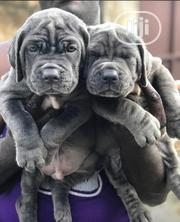 Young Female Purebred Neapolitan Mastiff | Dogs & Puppies for sale in Lagos State, Alimosho