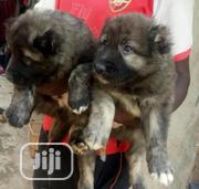 Baby Female Purebred Caucasian Shepherd Dog   Dogs & Puppies for sale in Abuja (FCT) State, Gaduwa