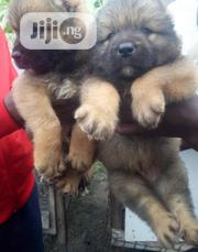 Baby Female Purebred Caucasian Shepherd Dog | Dogs & Puppies for sale in Abuja (FCT) State, Kabusa
