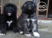 Baby Male Purebred Caucasian Shepherd Dog   Dogs & Puppies for sale in Abuja (FCT) State, Kado