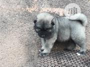 Baby Female Purebred Caucasian Shepherd Dog   Dogs & Puppies for sale in Abuja (FCT) State, Wumba